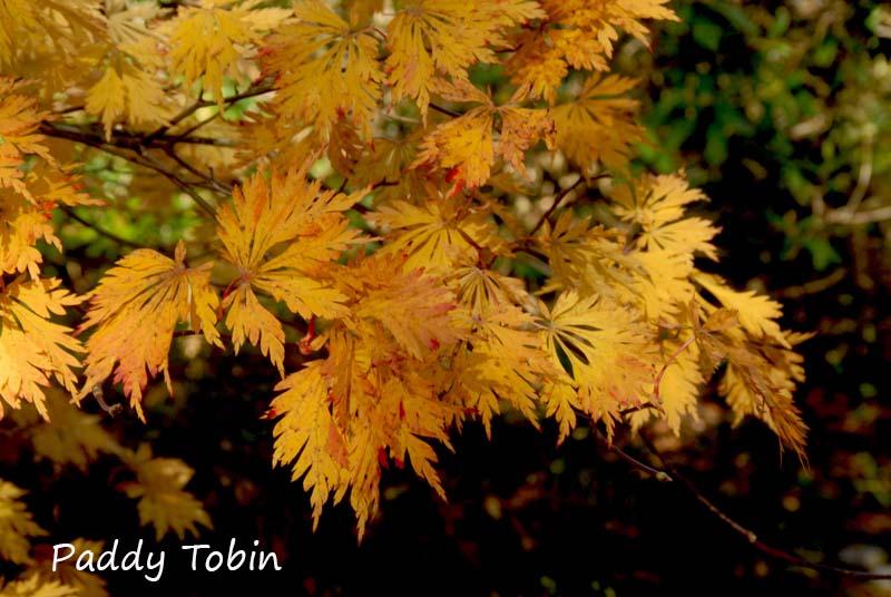 Acer aconitifolium (2)